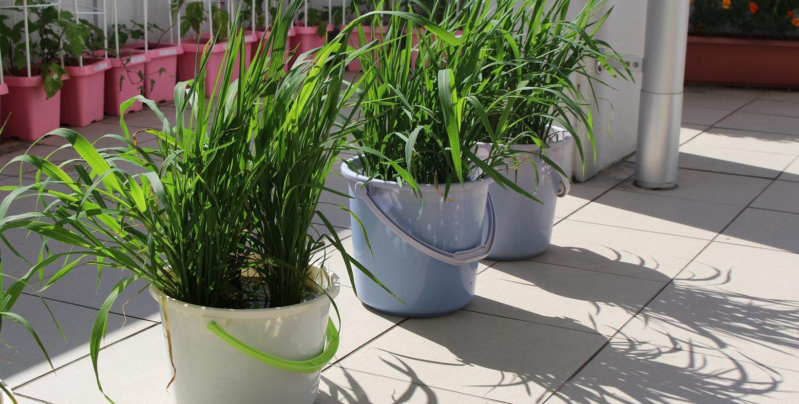 バケツ稲が大きく育ってきました。